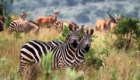akagera-national-park-zebras-648x350