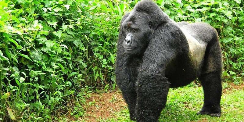 4 days Gorilla Trekking in Bwindi forest