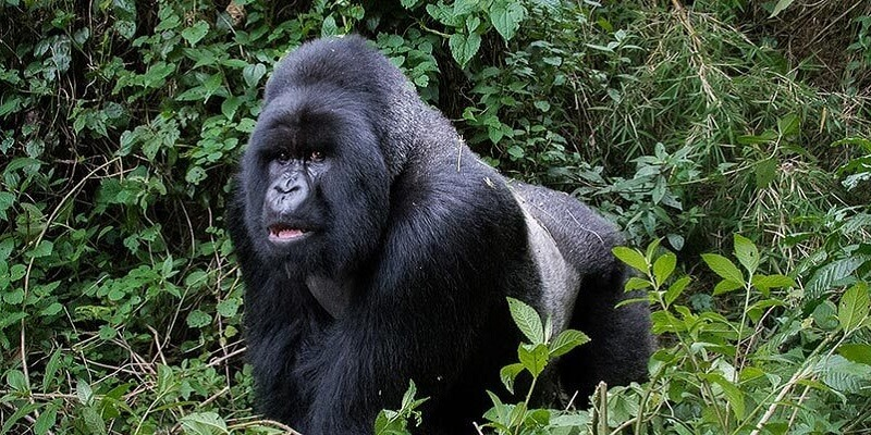 3 days gorilla trekking Rwanda to Uganda